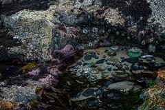 20160403--DSC_0563.jpg (r.mcminds) Tags: usa animal oregon starfish anemone oregoncoast echinoderm seastar sealrock cnidarian cnidaria pisaster bilateria echinodermata anthopleura pisasterochraceus ochreseastar asteroidea anthopleuraxanthogrammica deuterostome giantgreenanemone anthozoan actiniidae forcipulatida asteriidae purpleseastar metazoan actiniarian hexacorallian