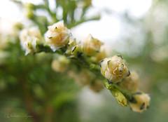 Cupressus sempervirens (Vladimir Lazarov) Tags: macro spring bulgaria fujifilm x30 strobilus cupressussempervirens