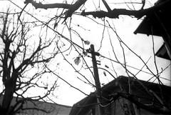 (spring and electricity 2) (Dinasty_Oomae) Tags: street blackandwhite bw flower monochrome tokyo blackwhite wire magnolia  zeissikon  utilitypole   contessa  suginami