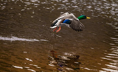 Takeoff (Steve-h) Tags: world park camera blue ireland boy wild dublin orange brown white lake black male green feet nature water birds yellow canon reflections lens outdoors eos grey daylight fly flying duck droplets drops wings movement pond europa europe day colours legs zoom action air flight beak eu natura telephoto mallard ripples splash drake waterdrops takeoff ef mallards wildfowl rathfarnham steveh iso2000 aquaticbirds ef100400mm 5dmkii bushyprk