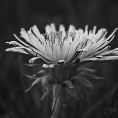 dandy day (fragglerocks) Tags: macro garden fraggle day112 366 apr16 fujixt1