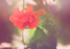 Pomegranate ((Sarah Robinson)) Tags: pink light red flower tree green beautiful leaves nikon pretty dof pomegranate micro d750 hazy sheer 105mm