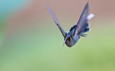 Phaethornis guy - Green Hermit - Ermitao Verde 09 (jjarango) Tags: guy verde green birding aves birdwatching hermit ermitao phaethornis avesdecolombia birdsofcolombia birdingcolombia
