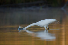 Morning Plunge (gseloff) Tags: bird sunrise texas feeding wildlife pasadena greategret kayakphotography gseloff horsepenbayou