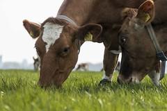 koeien-2 (Nickvbw) Tags: la cow cows workshop khe weiland vache vaches koeien springen stompwijk hollandslandschap 24105l kuhe eos70d 14april2016 koeienfotografie