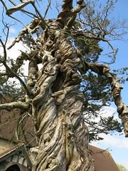 Tree, St James Church, Birdham (Peter Curbishley) Tags: tree westsussex yew churchyard twisted gnarled birdham gnarle