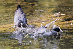 Spring is in the Air (bloedmann999) Tags: bird coot cootsmating
