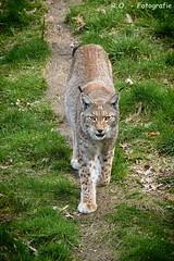 Luchs / Lynx (R.O. - Fotografie) Tags: lumix outdoor panasonic wildcat blick fz 1000 lynx dmc wildpark wildgehege neuhaus luchs wildkatze bser solling fz1000 dmcfz1000