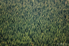 Unos pocos rboles (Mimadeo) Tags: trees sunset tree texture nature forest pattern many background crowd conservation aerialview pines repetition backdrop coniferous highangleview elevatedview