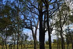 Bloodwood among Ironbarks (dustaway) Tags: autumn landscape australia nsw eucalyptus australianlandscape myrtaceae ironbark northernrivers australiantrees richmondvalley lagoonroad corymbiaintermedia pinkbloodwood