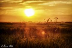 Sunset (Simone Stella) Tags: light sunset sun flower nikon campagna campo sole luce dorata d5100