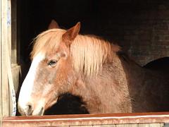 Horsey (SJW_Pics) Tags: light horses horse bunny bird nature beauty animal animals wall barn eyes day sheep outdoor farm no stripes main sunny ears filter farms horsy phot stable farmanimals hoofs naah sjw sjwpics samwilsonpics