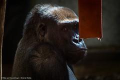Roadtrip 28 & 29-04-'16 (Mike van Houwelingen - DiverseMediaNL) Tags: holland netherlands dutch zoo monkey media diverse gorilla nederland roadtrip monkeys gorrila aap rhenen gorila ouwehands dierentuin dierenpark apen nederlandse aapjes ouwehand diversemedia diversemedianl rt28290416