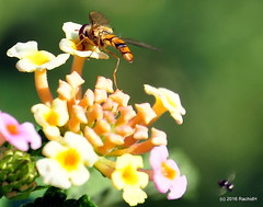 DSC_0760 (rachidH) Tags: nepal nature insects flies pokhara hoverfly syrphidae flowerfly syrphid syrphidfly rachidh