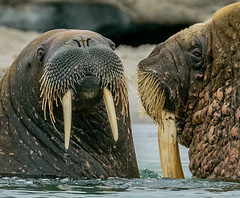 Face_to_Face_Walrus_WEB-1 (idphotodoc) Tags: max beach norway wolf marlene svalbard debbie nsb artic walrus longyearbyn magdalenefiorden
