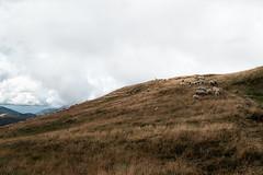 (Ozma87) Tags: mountain nature landscape lite emilia tuscany lama monte sentiero tosco sheeps montagna emiliano appennino rifugio reggio pecore shepards apennines percorso pastori gregge battisti transumanza crinale passone cusna piella