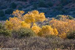 Fall Colours, Dry Beaver Spring, Sedona (IanLyons) Tags: travel trees arizona usa nature morninglight scenic sedona cottonwood vista northamerica fallcolours unspoiled tranquilscene oakcreek redrockcountry