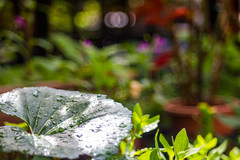 My mother's tiny garden (yamagenov) Tags: bokeh 55mm bubble f22 fujinon fujinon55mmf22
