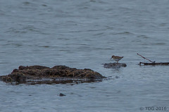 20160422-IMG_6034 (tdg734) Tags: birds unitedstates michigan leastsandpiper washtenawcounty sandpipersphalaropesandallies abalist schneiderrdponds