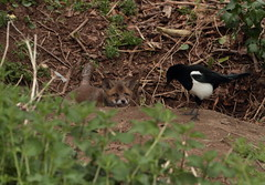 Fox Cub and Magpie (Colin Rigney) Tags: ireland bird nature outside outdoors cub wildlife fox magpie foxcub irishwildlife canoneos7d colinrigney riverdoddercodublin