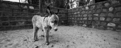 Baby Donkey (ayashok photography) Tags: bw india monument asian blackwhite nikon asia indian taj tajmahal agra desi bnw bharat bharath desh barat cwc uttarpradesh yamuna barath mugal 2013 shajahan ayashok nikond700 tokina1735mm chennaiweekendclickers ayashokphotography mehtabbaghgarden