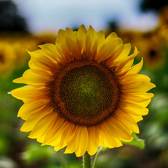 Tournesol (Jean McLane) Tags: fleurs soleil champs campagne tournesol flore gers
