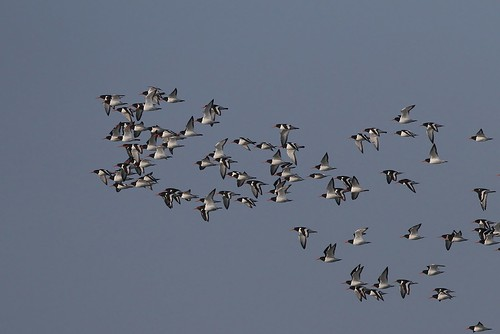Oystercatchers migrating north
