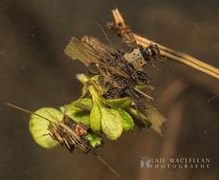 Northern Caddisfly-013.jpg (Gail MacLellan) Tags: caddisfly northerncaddisfly 2insects