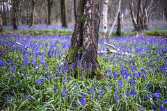 bluebells and tree trunks (Redheadwondering) Tags: sonya7rii savernakeforest savernake marlborough wiltshire woods forest trees spring landscape woodland ancient sigma50mmdgmacro bluebellgrove blue wildflowers perfecteffects10 a7ii α7ii