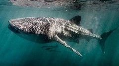 Ningaloo whale shark encounter || Exmouth {Explore 126, 2016/05/02} (David Marriott - Sydney) Tags: ocean sea fish water shark australia feeder filter western whale whaleshark ningaloo exmouth pelagic plankton meikon