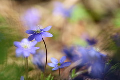 Happy May Day ! (evisdotter) Tags: flower macro nature spring bokeh ngc npc blomma blsippa sooc anemonehepatica
