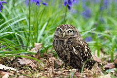 Little owl (hehaden) Tags: leaves bluebells surrey owl bwc littleowl athenenoctua lingfield britishwildlifecentre sel70200g