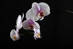 Low key orchid (kaffealskare) Tags: plant orchid flower blackbackground blomma lowkey homestudio orkide orkid elinchrom hemmastudio