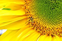 bee's fave (doods-off/on) Tags: flower green nature yellow seed petal bee sunflower thebestofmimamorsgroups onlythebestofflickr naturesplus