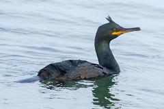 Shag (scyrene) Tags: blue sea black green water yellow cormorant ripples shag firthofforth eastlothian musselburgh