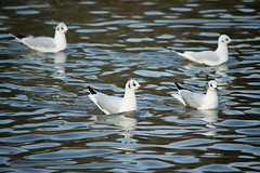 20160116-12_Coombe Abbey_Gulls in the Water (gary.hadden) Tags: birds gulls coombeabbey coombecountrypark coombepark