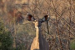 Listen carefully (felipeepu) Tags: africa south deer safari südafrika ohren