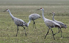 C13 (ksueharris) Tags: birds cranes migration sandhillcranes