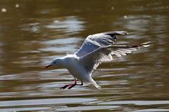 Silver Gull (blachswan) Tags: coast australia victoria southernocean portfairy birdinflight silvergull