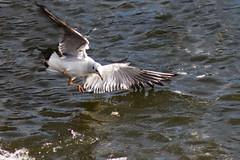 Chasing bread (Fredouce) Tags: bird water eau wildlife seagull oiseau mouette rambouillet