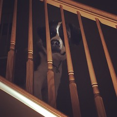 She sits up on the stairs when she's tired & ready for bed #stbernard #saintscout #saintbernard #saintbernardsofinstagram #weeklyfluff #sleepyhead (Tiffany_Starr) Tags: sleepyhead saintbernard stbernard weeklyfluff saintbernardsofinstagram saintscout