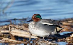 Teal m (Steve Balcombe) Tags: uk male green bird duck teal somerset drake anas levels rspb greylake crecca