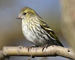 Siskin  (Kentish Plumber) Tags: bird finch siskin