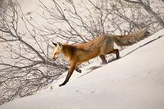 Island Beach Foxes-2630-Edit (buddy4344) Tags: nature newjersey wildlife redfox