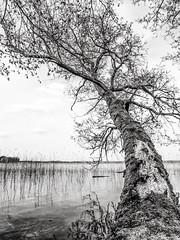 Überragend 2 (Panasonikon) Tags: bw tree see lake wide weitwinkel geäst überragend gvario1235 lumixdmcg6 panasonikon baum