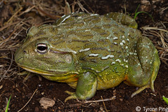Pyxicephalus adspersus  Giant African Bull Frog. From Naboomspruit, Limpopo (Tyrone Ping) Tags: life africa wild macro up canon giant close african south bull frog southern amphibians herps limpopo herpetology adspersus pyxicephalus canon7d tyroneping wwwtyronepingcoza