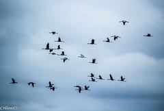 Grues cendres. (Crilion43) Tags: france nature divers ciel arbres nuages paysage objet oiseaux bleue msange charbonnire grues cendre diversnature