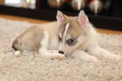 IMG_2097 (Lee Collings Photography) Tags: dog pet pets puppy husky siberianhusky 0702 huskypuppy huskypup 07022016