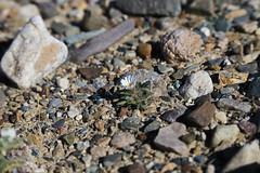 White Woolly Daisy, Death Valley (1) (Bob Palin) Tags: california 15fav usa flower canon desert deathvalley club100 100vistas instantfave canonef24105mmf4lisusm flowerpicturesnolimits whitewoollydaisy thepoweroftheflower orig:file=2016012704464