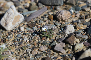 White Woolly Daisy, Death Valley (1)